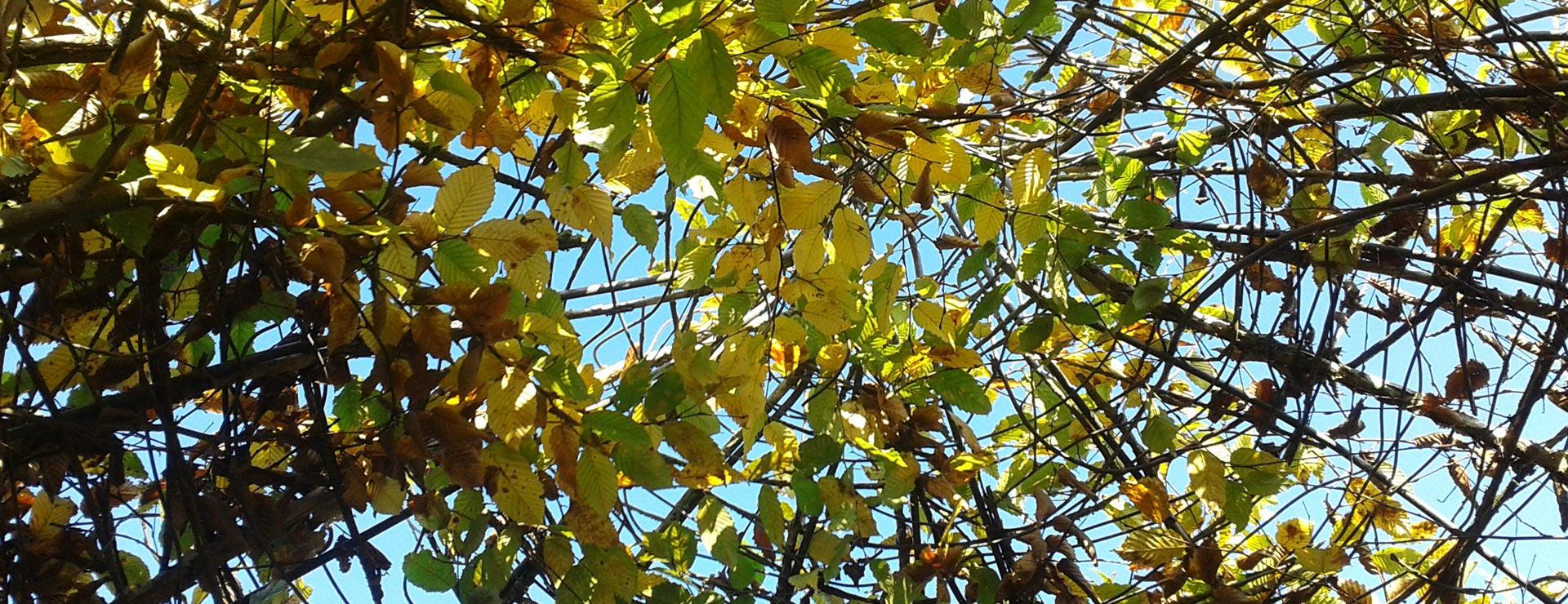 Blätterdach der Weidenfigur in der Mitte des Lebendigen Labyrinthes
