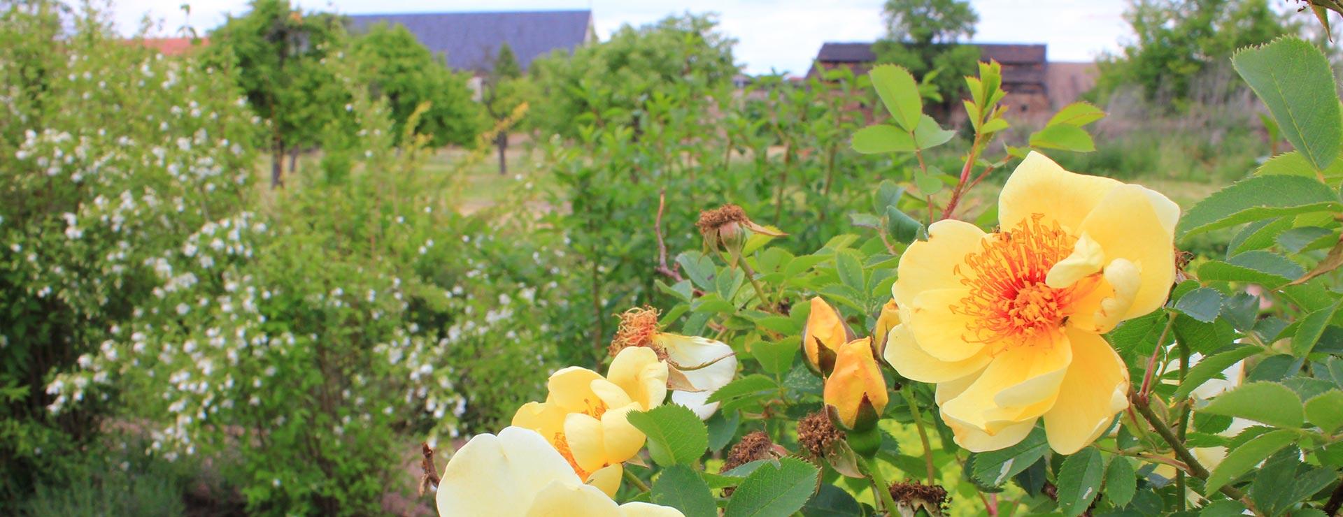 Blüten im Lebendigen Labyrinth im Naherholungsziel Kloster Helfta in Eisleben